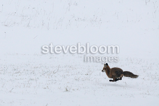 Red fox running in the snow Vosges France (Red fox)