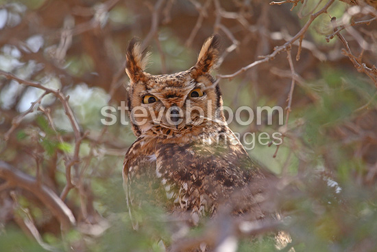 Spotted Eagle-owl in branches Namibia (Spotted Eagle-Owl)