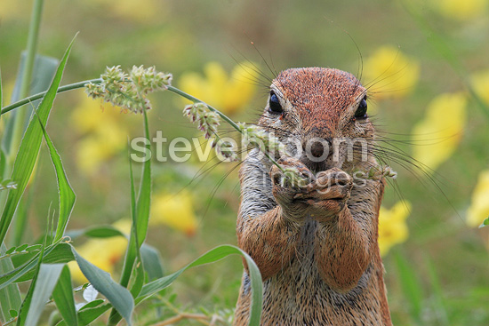 South African ground squirrel eating South Africa (South african ground squirrel)