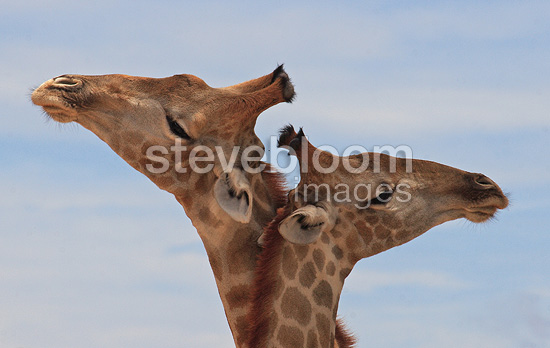 Portrait of Giraffes neck against neck South Africa (Giraffe)