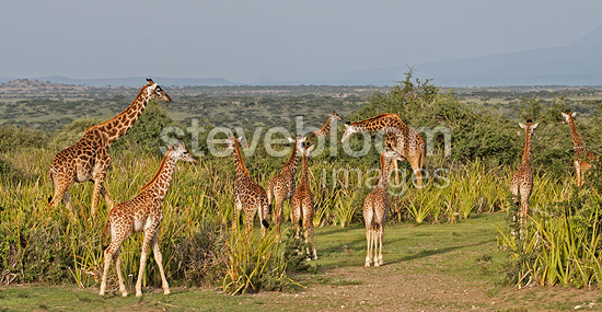 Group of Masai giraffes Lake NdutuTanzania (Masai giraffe)