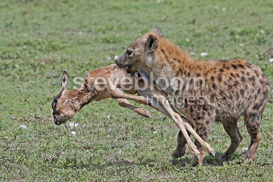 Spotted hyaena with a young gnu in the mouth Lake Ndutu (Speckled Hyena)