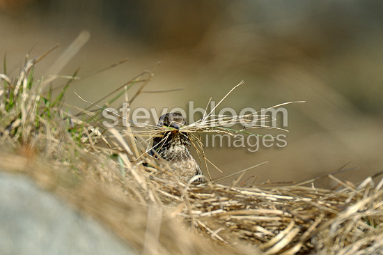 Female Ring Ouzel building a nest Tatranska Lomnisca (Ring Ouzel)