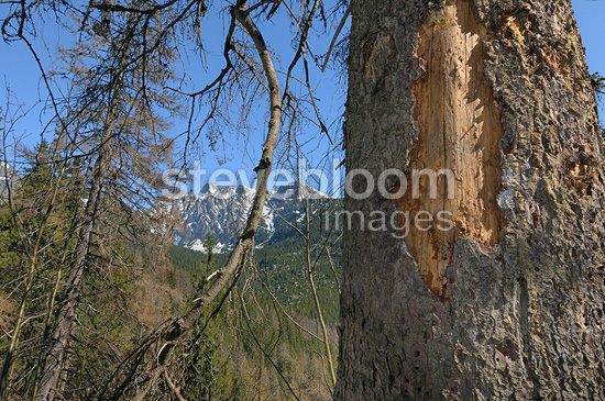 Spruce attacked by Spruce bark beetle Hrebienok Slovakia
