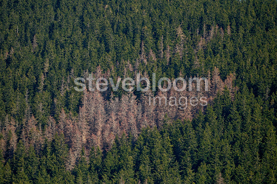 Spruce attacked by Spruce bark beetle Tatranska Lomnica