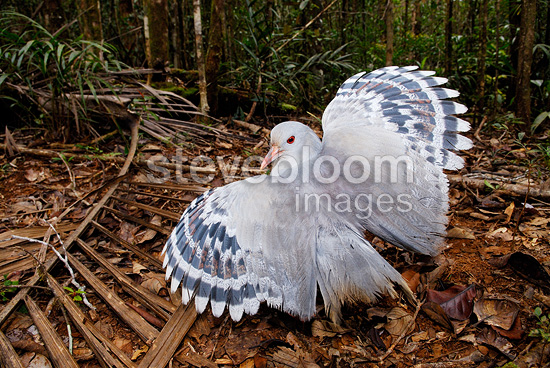 Kagu in defense of the Blue River Park New caledonia (Kagu)