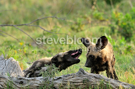 Bullying behavior among youth African wild dog Botswana (African wild dog)