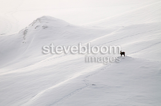 Pyrenean Chamois male on a snowy Pyrenees France (Pyrenean chamois)