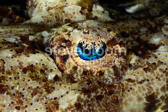 Crocodile Fish Eye, Nosy Be, Madagascar (Beaufort's Crocodile fish)
