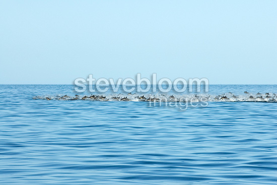 Travelling common dolphins at high speed Gulf of California (Short-beaked saddle-backed  (common) dolphin)