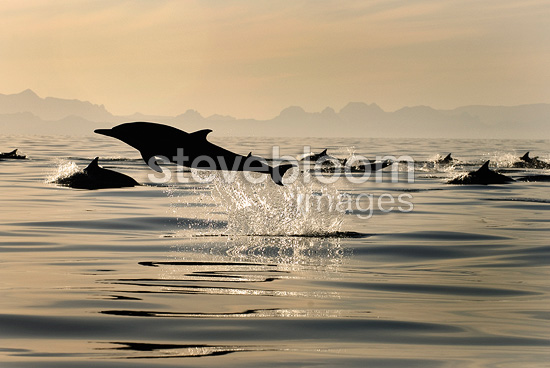 Silhouette of a leaping dolphin Gulf of California Mexico (Short-beaked saddle-backed  (common) dolphin)