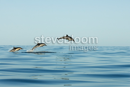 Trio of leaping dolphins Gulf of California Mexico (Short-beaked saddle-backed  (common) dolphin)