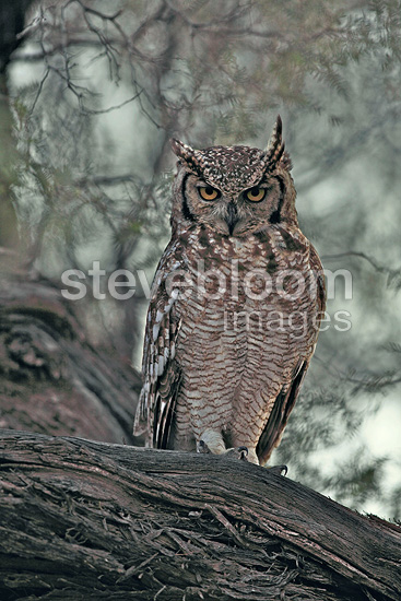 Spotted Eagle-Owl on a branch, Kgalagadi, South Africa