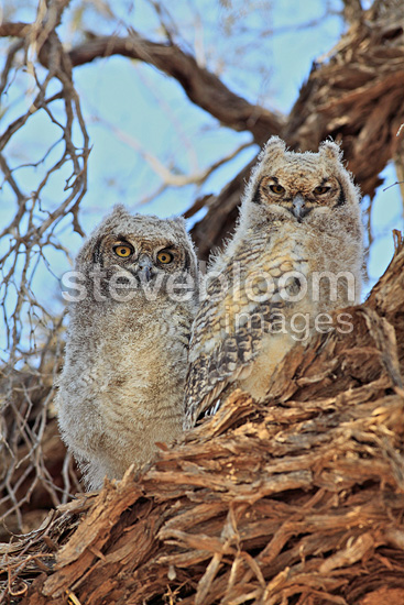 Young Spotted Eagle-Owl on a branch, Kgalagadi, South Africa