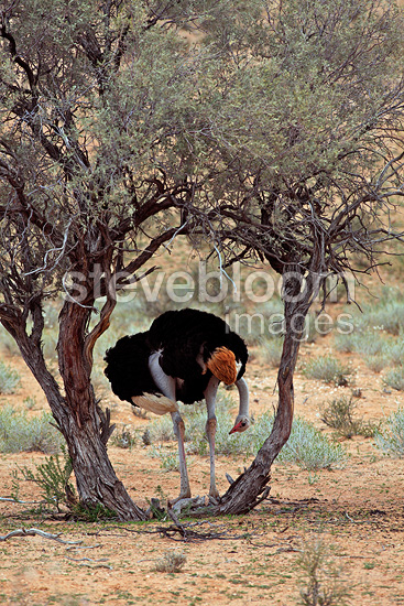 Ostrich in the shade of a bush Kgalagadi South Africa  (Ostrich)