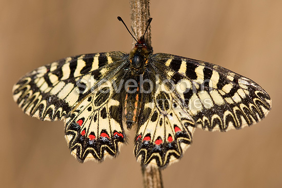 Southern Festoon on a stem Provence France