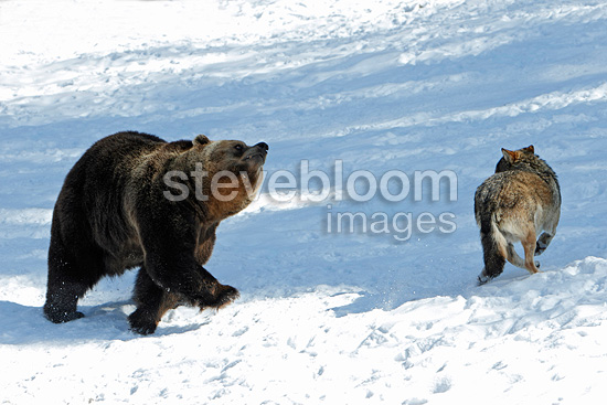 Fight between a wolf and a bear in the snow Swiss Jura (Brown bear)