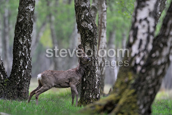 European Roe Deer rubbing her velvet on a birch France (Roe deer)