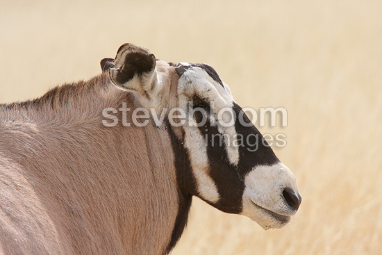 Gemsbok male who lost an eye and two horns in battle (Gemsbok)