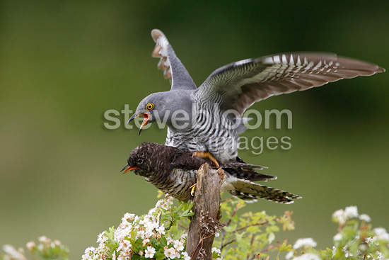 Cuckoo trying to mate with a stuffed decoy in spring RU (Cuckoo)