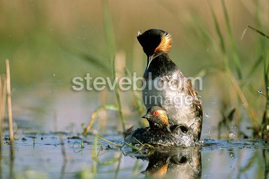 Mating of Black-necked grebes in seagrass France (Black-necked grebe)