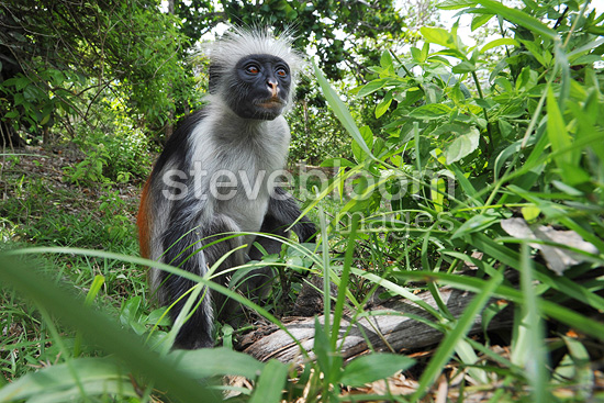 Zanzibar red colobus on a branch Forest Jozani Tanzania  (Zanzibar red colobus)