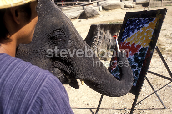 Asian Elephant painter in Thailand (Asian elephant)