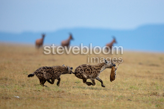 Spotted hyenas hunting  (Speckled Hyena)