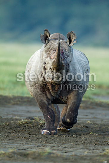 Male Black rhinoceros charging in Nakuru PN Kenya (Black rhinoceros)