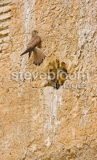 Lesser Kestrels at nest, Andalusia, Spain