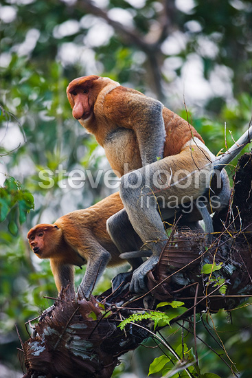 Monkey Mating Proboscis monkeys mating