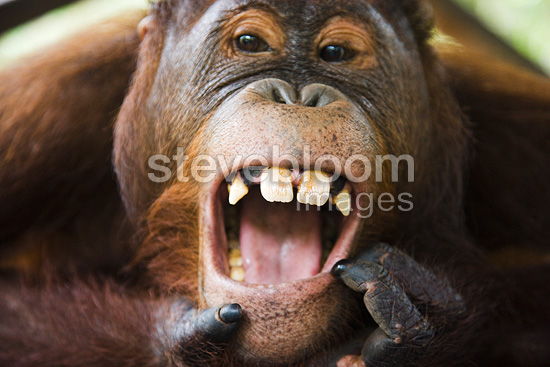 Young male orangutan opening mouth Tanjung Puting NP Borneo (Orangutan)