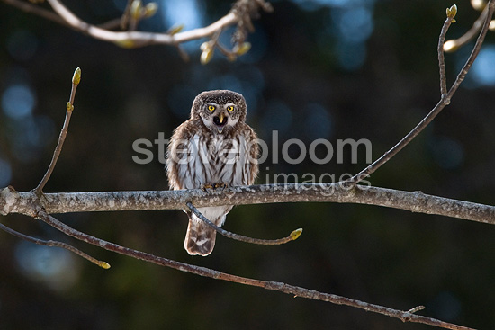 Eurasian pygmy owl on a branch The Bauges Mountains France (Pygmy Owl)