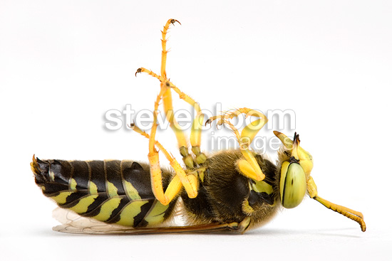 Sand wasp feigning death in studio (wasp)