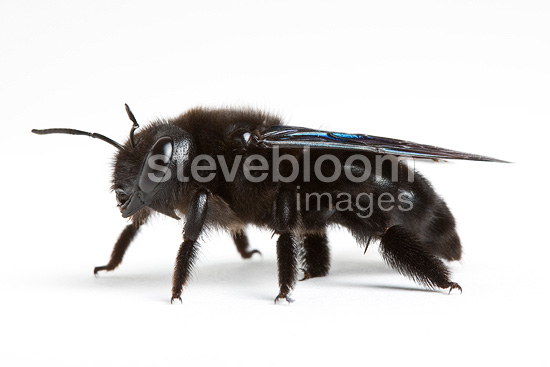 Carpenter Bee in studio