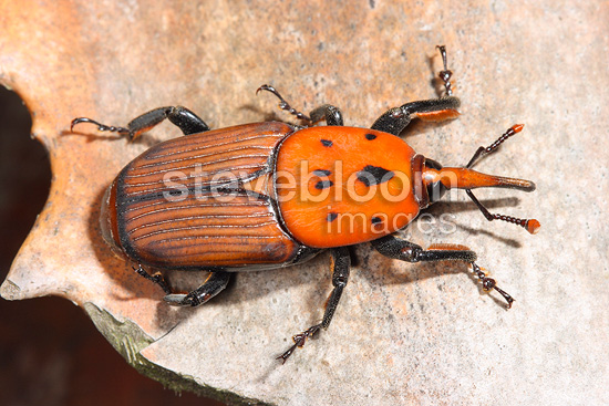 Red Palm Weevil (weevil)