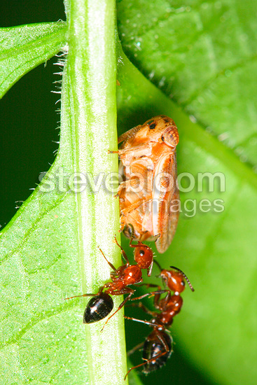 Adult Froghopper sap-sucking on stem with two Ants