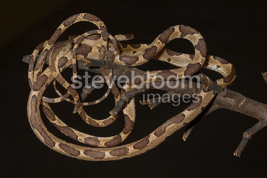 Blunt-headed Tree Snake on a branch Guyana
