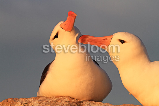 Couple of Black-browed albatross Falkland islands (Black-browed albatross)