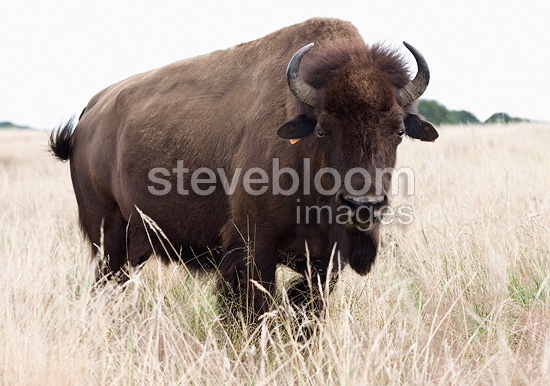 Bison in a field in France (European bison)