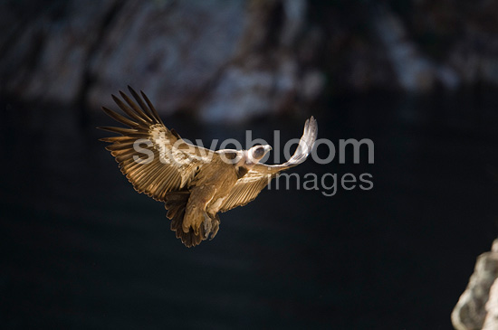 Griffon Vulture coming in to land on a cliff, Extremadura, Spain