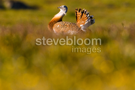 Great Bustard male parade in the steppe Spain (Great Bustard)