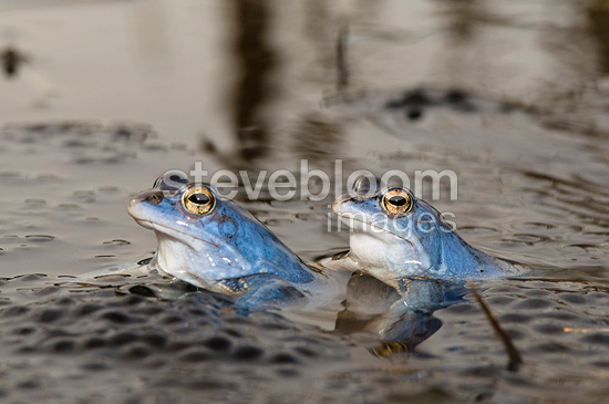 Moor frog breeding males parade in a pond Bavaria Germany
