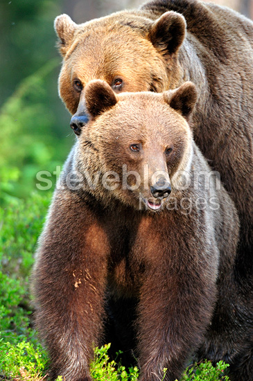 Coupling of brown bears in Finland (Brown bear)