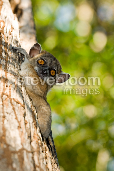 Red-tailed sportive lemur on trunk Kirindy Madagascar (Red-tailed Sportive Lemur )