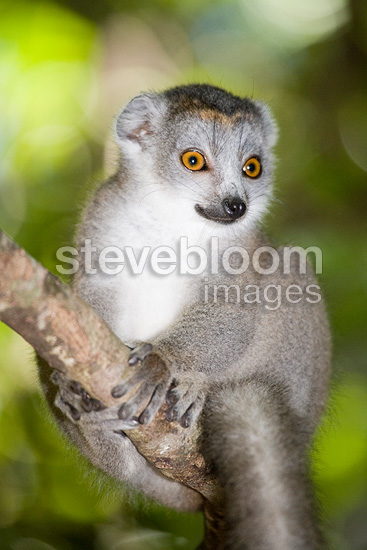 Young crowned lemur on a branch Madagascar Ankarana (Crowned lemur )