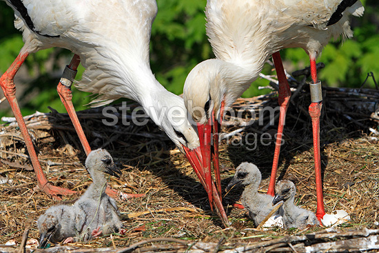White Storks with their nestlings France (White Stork)