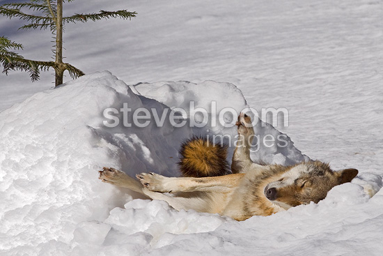 European Wolf at rest in the snow BayerischerWald Germany (Eurasian wolf)