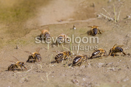 Bees drink near a puddle of Maures Maquis France