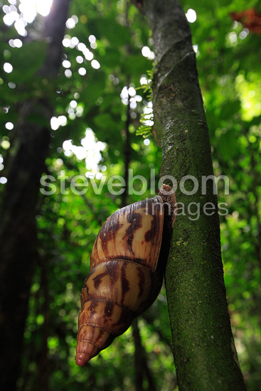 Achatina on the trunk of a tree in rainforest Cameroon